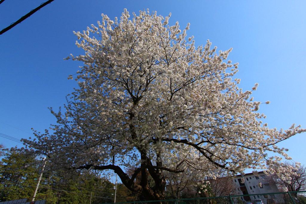 Sakura Photo 2011Bajikouen (3)