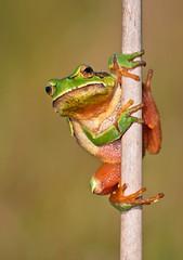 [フリー画像] 動物, 両生類, カエル, 201104170500
