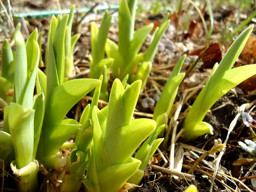 day lilies emerging