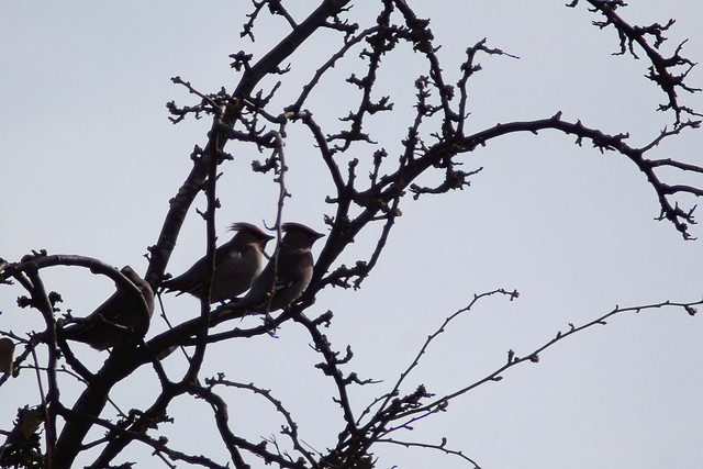 Three waxwings perched in the branches of a hawthorn tree