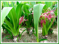 Crinum asiaticum (Giant/Grand Crinum Lily, Poison Bulb) with pink/maroon flowers
