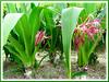Crinum asiaticum (Giant/Grand Crinum Lily, Spider Lily, Asiatic Poison Bulb, Poison Bulb/Lily, Seashore Lily)