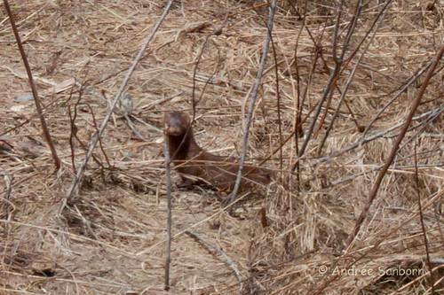 American Mink (Neovison vison) (2 of 5).jpg
