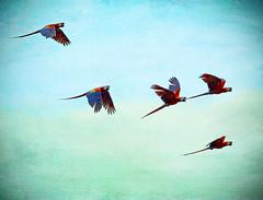 Scarlet Parade (Peggy Collins) Tags: red scarlet interestingness costarica bravo flock explore tropical birdsinflight distressed tropics parrots textured bif flockofbirds birdinflight mackaw birdflock osapeninsula flyingbirds featheryfriday florabella scarletmackaws peggycollins flockofparrots