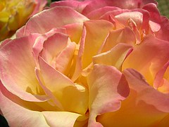 Pink-yellow rose petals closeup