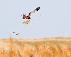 House Building Marsh Harrier style (Andrew Haynes Wildlife Images) Tags: male bird nature wildlife norfolk nwt marshharrier cleymarsh canon7d ajh2008