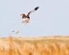House Building Marsh Harrier style (Andrew Haynes Wildlife Images) Tags: male bird nature wildlife norfolk nwt marshharrier cleymarsh canon7d ajh2008