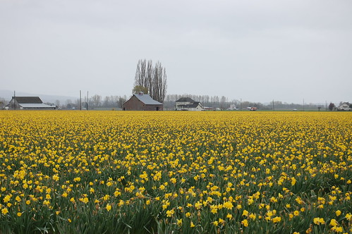 Daffodils by robinkziegler