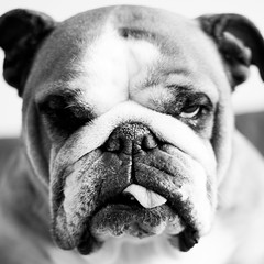 Someone is not in the mood.. (Oh beautiful world.) Tags: portrait blackandwhite bw dog cute eye tongue square focus funny moody dof expression headshot bulldog angry englishbulldog annoyed ohbeautifulworld hannekevollbehr