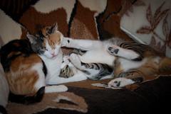 Macskaharc (.::Danka::.) Tags: cat fight macska cica connection harc kapcsolat buny verekeds fenyertekhu fnyrtk