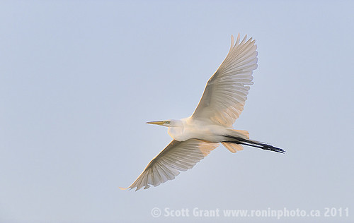 Great Egret Flight Into First Light by Scott Grant