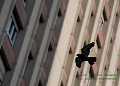 DSC_1668.jpg (Carsten Saager) Tags: flight pidgeon
