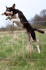 [フリー画像] 動物, 哺乳類, 犬・イヌ, 跳ぶ・ジャンプ, 201104231700