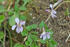 自然環境保全センターのタチツボスミレ(Violet, Nature Preservation Center, Kanagawa, Japan)