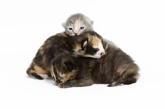Pile of Kittens (Carl's Photography) Tags: cat nikon kitten kitty f56 sb800 alienbees 85mmf14d iso640 nikkor85mmf14d strobist 1250sec bestofcats sb900 d7000 1250secatf56 43inchshootthroughumbrella nikond7000 paraboliclightmodifier gettyartistpicks nikonsg3irirpanel whitediffusioncover ab64inchsilverplm
