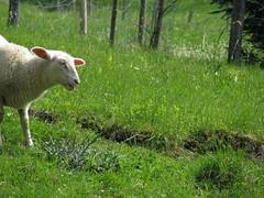 Easter Lamb Pt. I (Been Around) Tags: green nature animal animals easter austria österreich europa europe niceshot sheep travellers sunday natur eu april lamb ostern sonntag oberösterreich tier autriche austrian schafe aut schaf ostersonntag lämmer lamm oö ö upperaustria 2011 steyrling 5photosaday osterlamm a rettenbach easterlamb onlyyourbestshots flickraward hauteautriche concordians thisphotorocks visipix bezirkkirchdorf expressyourselfaward flickrunitedaward bauimage mygearandme pyhrnprielregion urlaubsregionpyhrnpriel hinterdrissl