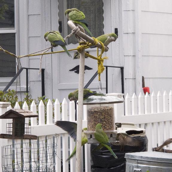 Parakeets, Brooklyn
