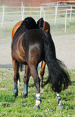 C2 (s11_8) Tags: horse pferd swb hst younghorse swedishwarmblood unghst svenskthalvblod