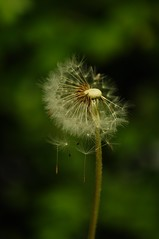 Dandelions - Blowing apart (Rodney Wetton) Tags: floating dandelion seeds brokenclock rodneywetton