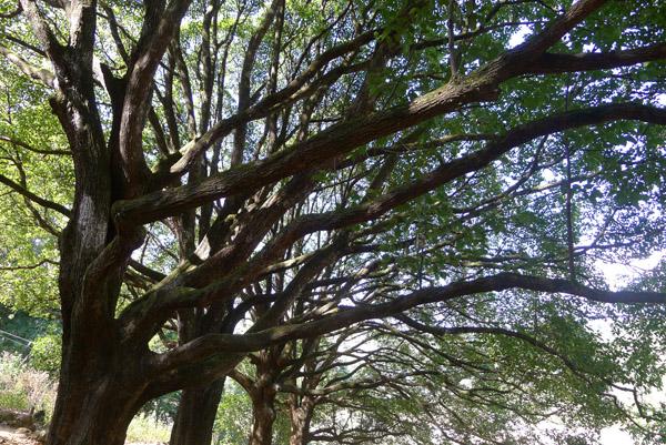 和顺古镇樟树