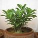 4 Bonsai plant