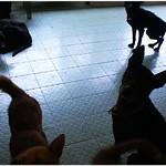 『種類眾多』燕巢收容所0426、黃金獵犬、西施、混秋田、混瑪爾、紐波利頓犬、吉娃娃、米克斯成幼犬、貓、現場為準,20110427 thumbnail