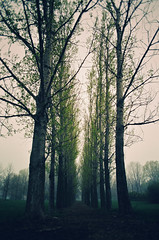 We are 90 years old trees that why we are a lot taller than u. (TiiimChao) Tags: morning mist tree nature fog forest illinois foggy earlymorning oldtree bigtree talltree amazingtrees