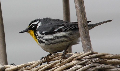 yellow throated warbler, one last time by ricmcarthur