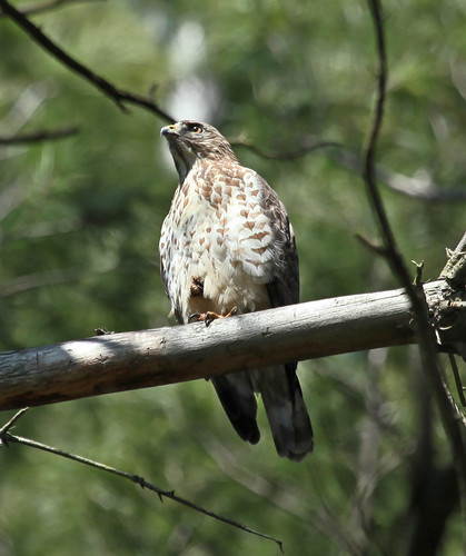 Broad-winged Hawk - Surveying The Forest by JKissnHug