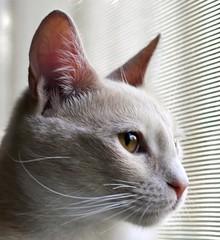 Chloe (shannonsl) Tags: light orange cats white window 35mm nikon tan peach kittens kitties buff d5000