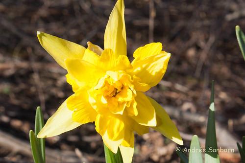 Found Daffodil (11 of 14).jpg
