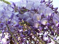 garden wisteria