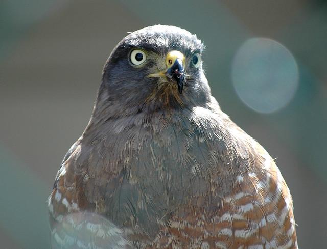 roadside hawk 3