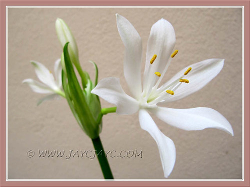 Proiphys amboinensis (Cardwell Lily, Northern Christmas Lily), an Easter flowering miracle again! Shot April 30 2011