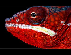 Chameleon (Supervliegzus) Tags: macro nikon chameleon mygearandme mygearandmepremium mygearandmebronze mygearandmesilver mygearandmegold berkenhofstropicalzoovlindertuin