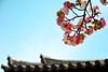 late blooming (sinkdd) Tags: japan nikon 桜 cherryblossom sakura nikkor nara todaiji 奈良 東大寺 18200mm 三月堂 d7000 nikond7000 sinkdd