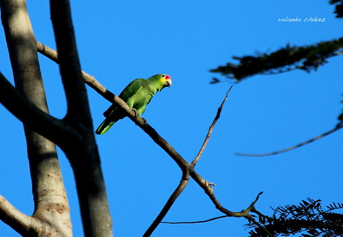 Amazona Frentirroja. Red-lored Parrot. Amazona autumnalis.