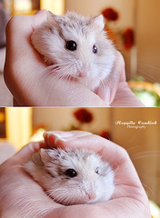 Toupee, All Ruffled Up (Happily Candied) Tags: pet cute love animal hamster hammy robohamster jacquestoupee