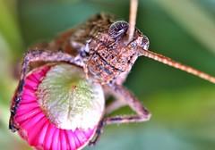 cool hopper (FISHNROBO) Tags: life light wild flower colour macro green nature closeup insect newcastle fun fly bush flora natural native wildlife australia cannon 60mm robo fishnrobo