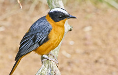 1. Montserrat Oriole?  or 2. Snowy Crowned Robin Chat? (Chris_Woodford) Tags: bird gold zoo sony chester montserrat oriole chesterzoo montserratoriole wwwchriswoodfordphotographycom