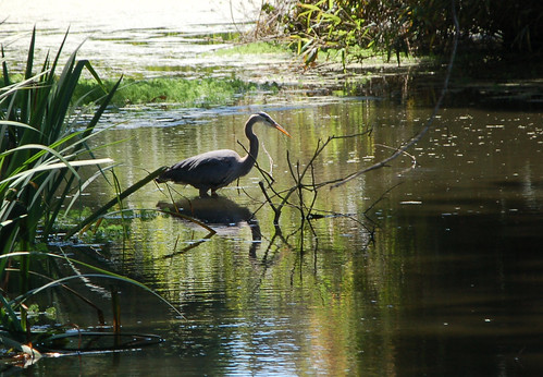 heron & shadow!.jpg