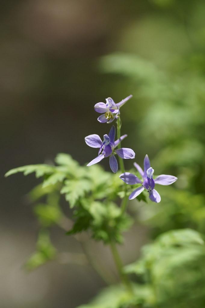 Delphinium anthriscifolium