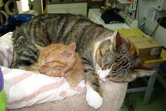 Tinker and Kiara (Kurt Faler) Tags: rescue cats cat kitten earth kitty kittens center angels felines clinic neuter spay ffrc friendsoffelinesrescuecenter earthangelsspayneuterclinic easnc