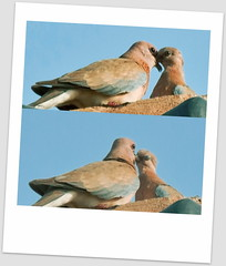 dove in love (TARIQ HAMEED SULEMANI) Tags: summer nature birds dove wheat harvest tariq khanewal concordians sulemani jahanian