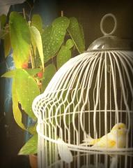 the old tenor (Iconolat3r) Tags: pets bird texture cage canvas canary tela gabbia canarino tamaya animalidacompagnia serinuscanarius auciellodintacaiola