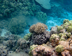 Cauliflower coral spawning, French Frigate Shoals (USFWS Pacific) Tags: coralreef sharkisland coralspawning cauliflowercoral frenchfrigateshoals northwesternhawaiianislands hawaiianislandsnationalwildliferefuge pocilloporameandrina kanemilohai papahanaumokuakeamarinenationalmonument