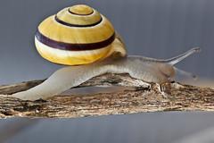 144/365 - May 24, 2011 - Snail (Shane Woodall) Tags: newyork macro brooklyn coneyisland may snail 100mm 365 2011 project365 canon5dmarkii 3652011 shanewoodallphotography