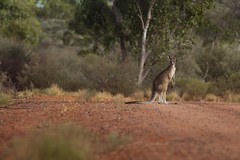 Curious Kangaroo (petefeats) Tags: nature birds australia queensland dust greykangaroo dustcloud ontrack bowra
