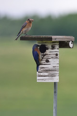 Bluebird Parents DSC_2461 by Mully410 * Images