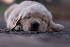 Picol (jacsonquerubin) Tags: sleeping brazil dog cute southamerica paran june brasil puppy nap sleep cachorro napping sono dormindo filhotes goldenretriver sudamerica iguassu amricadosul iguau soneca fozdoiguau junho 2011